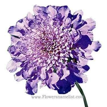 pincushion flower blue diamonds