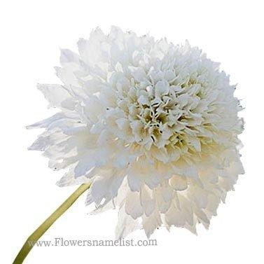 pincushion flower white