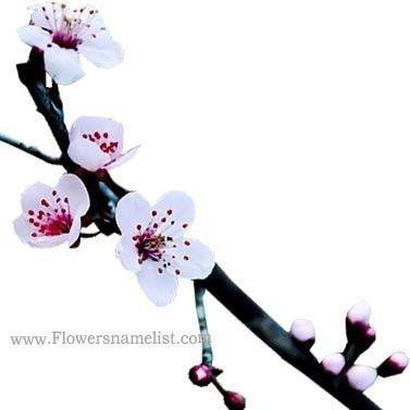 plum tree white