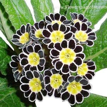 polyanthus Silver laced