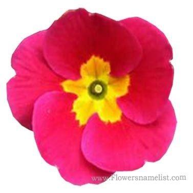 polyanthus rose