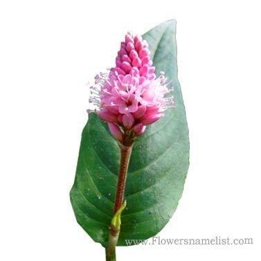 polygonum lapathifolium pink