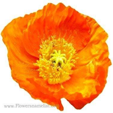 poppy iceland orange