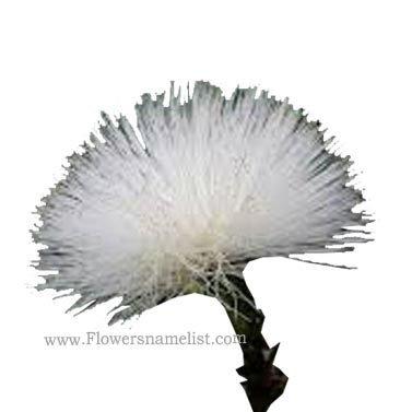 powder puff Fabaceae White