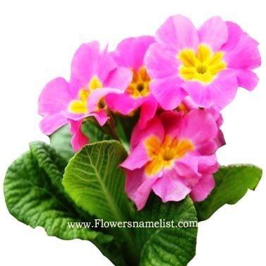 primula pink flower