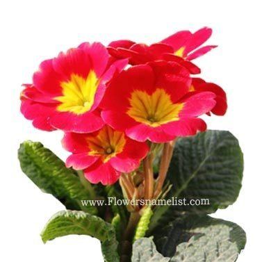 primula red flower