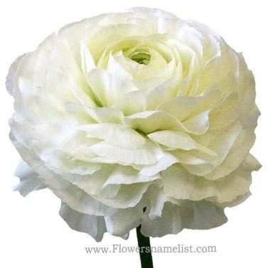 ranunculus flower white