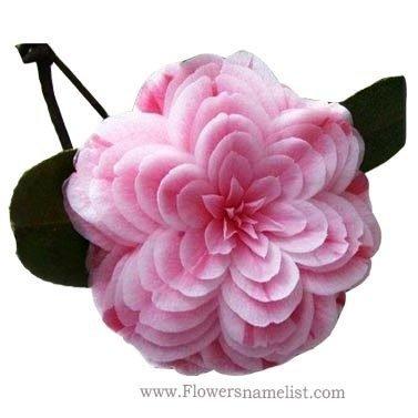 retty camellia