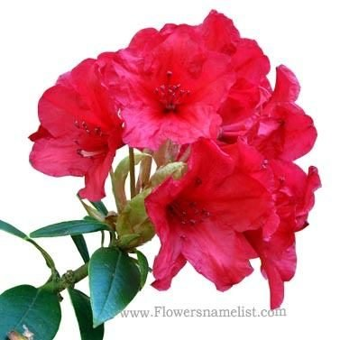 rhododendrons red