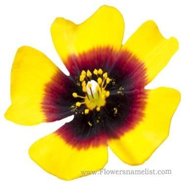 rock rose yellow