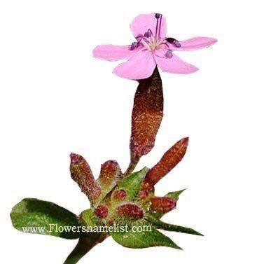 rock-soapwort pink