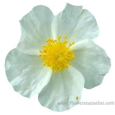 rock white helianthemum apenninum