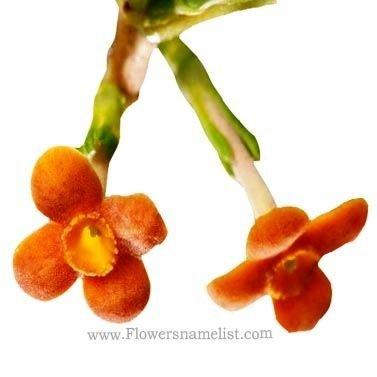 rondeletia buxifolia