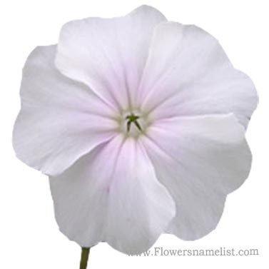 rose-campion white