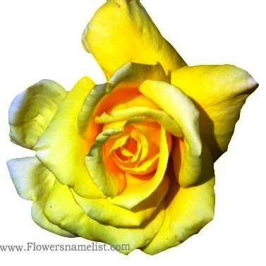 rose-flowers-yellow and white