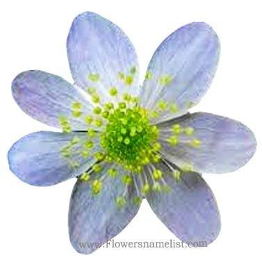 rue flower