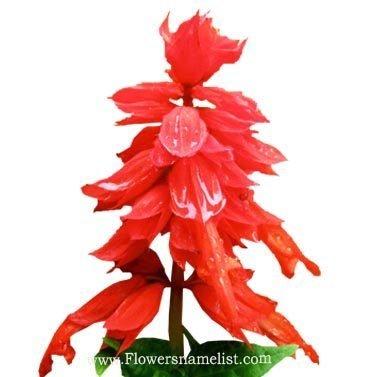 salvia red flower