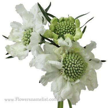 scabiosa Perennial White