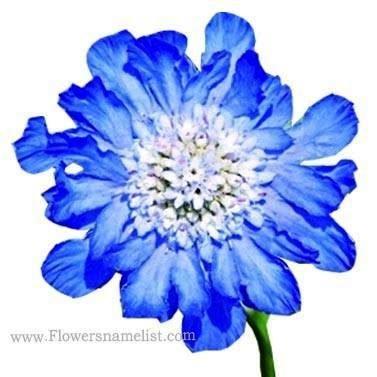 scabiosa_caucasica_fama_deep_blue