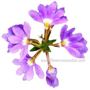 scaevola_purple_fanfare
