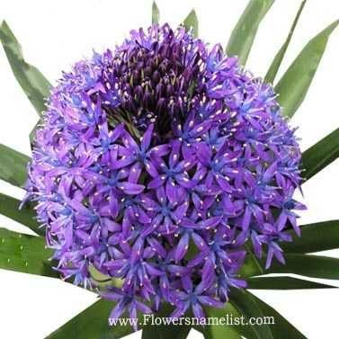 scilla-peruviana-visoflora