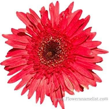 shasta daisy red