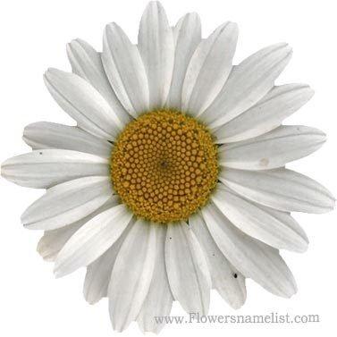shasta daisy white