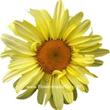 shasta daisy yellow