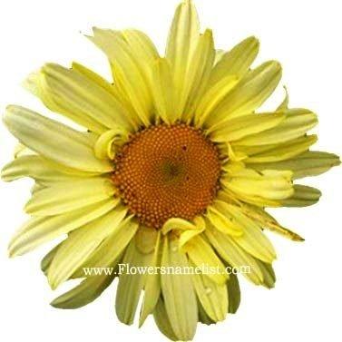 shasta daisy yellow