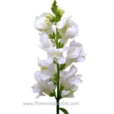 snapdragons white