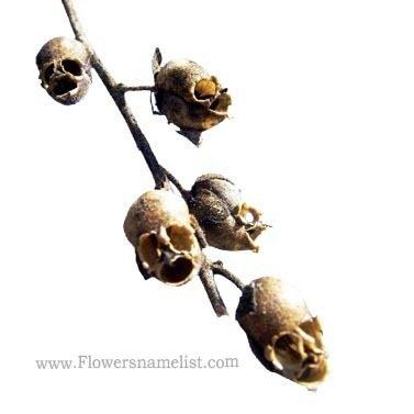 snapgdragon skull
