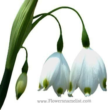snowdrops or Snowflake flowers