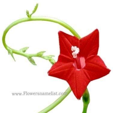 star cypress red flower