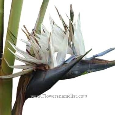 ( strelitzia nicolai) white-bird-of-paradise-flower