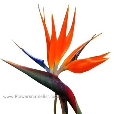 strelitzia-reginae-flowers