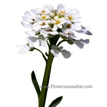 sweet-alyssum-white