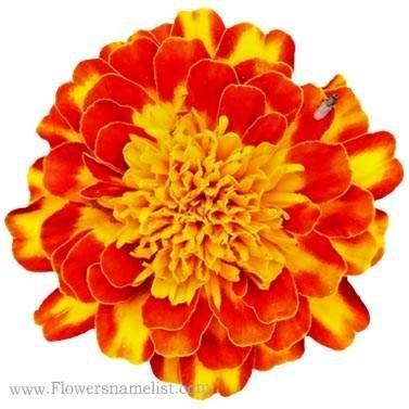 tagetes erecta , african marigold