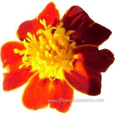tagetes-tenuifolia