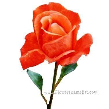 tea rose Hybrid , Alexander rose