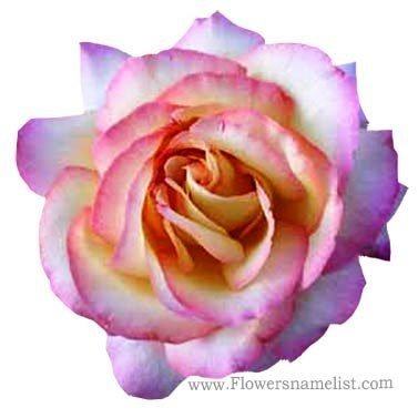 tea-rose-hybrid