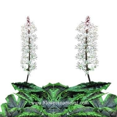 tiarella iron butterfly