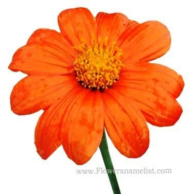 tithonia gold finger-Sunflower-Mexican