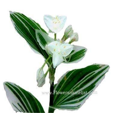 tradescantia_fluminensis_variegata