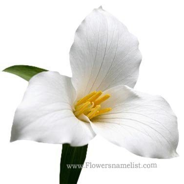 trillium-white flower