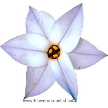 triteleia spring star