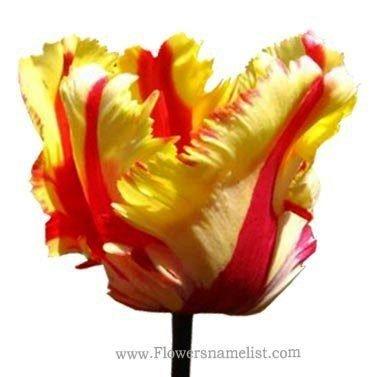 tulip double rosen , flaming_parrot