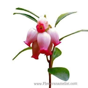 uva ursi flower