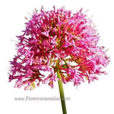 valerian-red-valerianaceae-flower