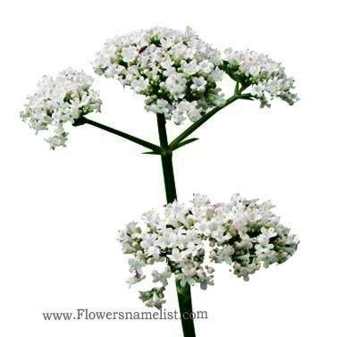 valerian white