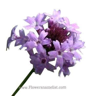 verbena lilacina